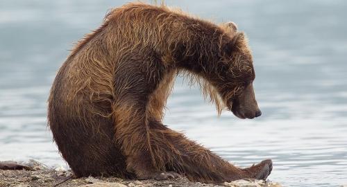 Карталинские грибники нашли в лесу медвежий тайник: в нём была припрятана «разделанная на жаркое» косуля